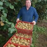 Récolte de kiwi